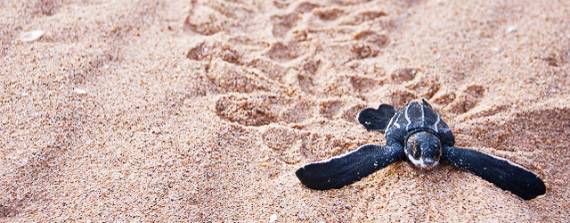 Baby leatherback turtle trying to find the water