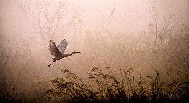 Sepia image of an egret taking off from a marsh in fog